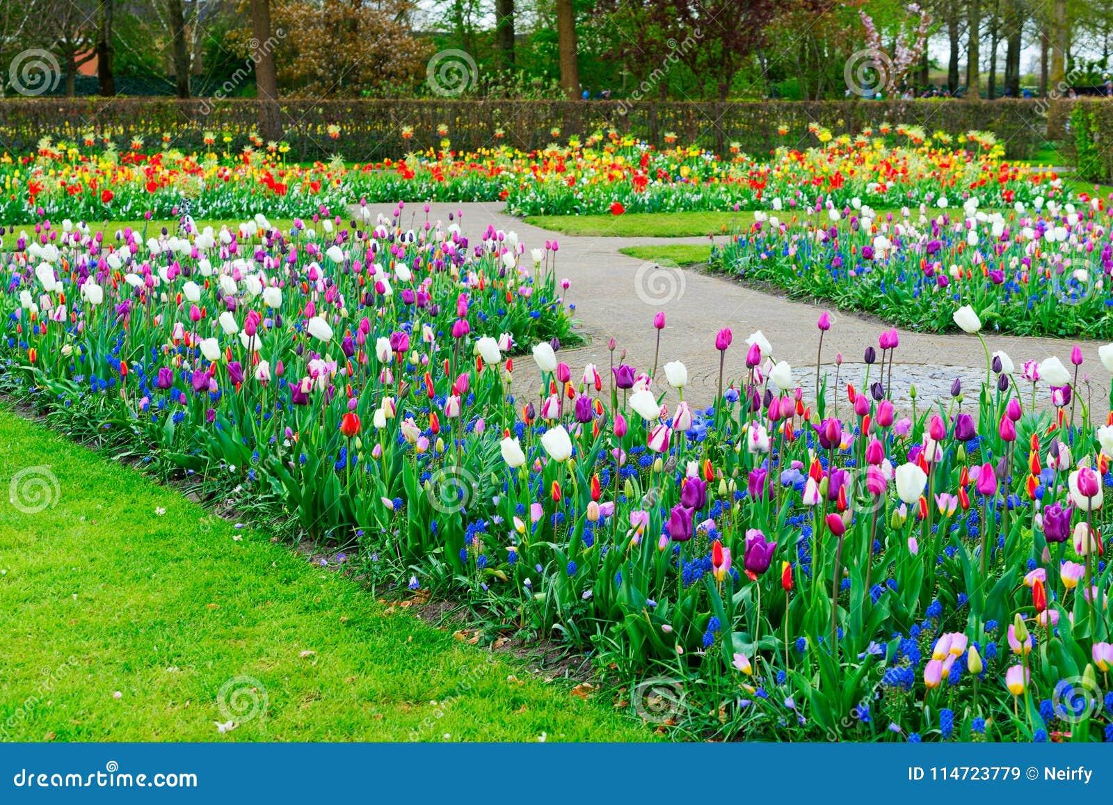 f71040cdc552 Filas De Las Flores Del Tulipán Imagen de archivo - Imagen de ...