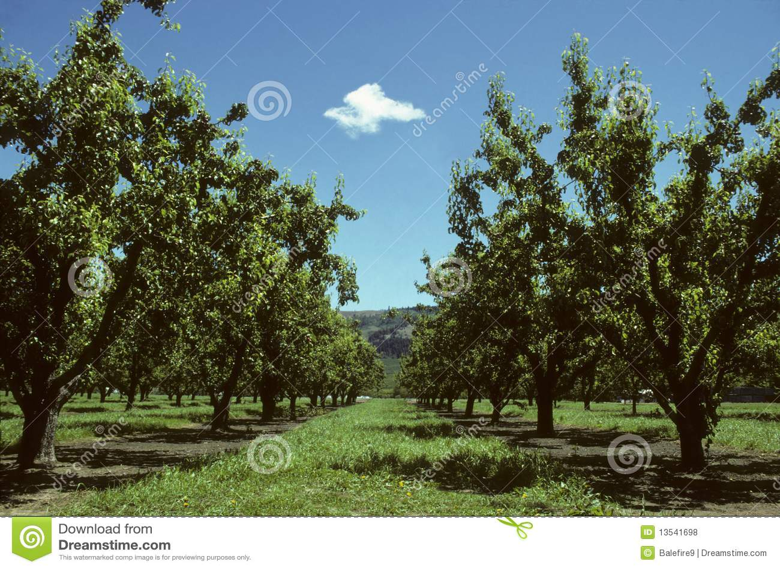 Filas de los árboles de pera en una huerta