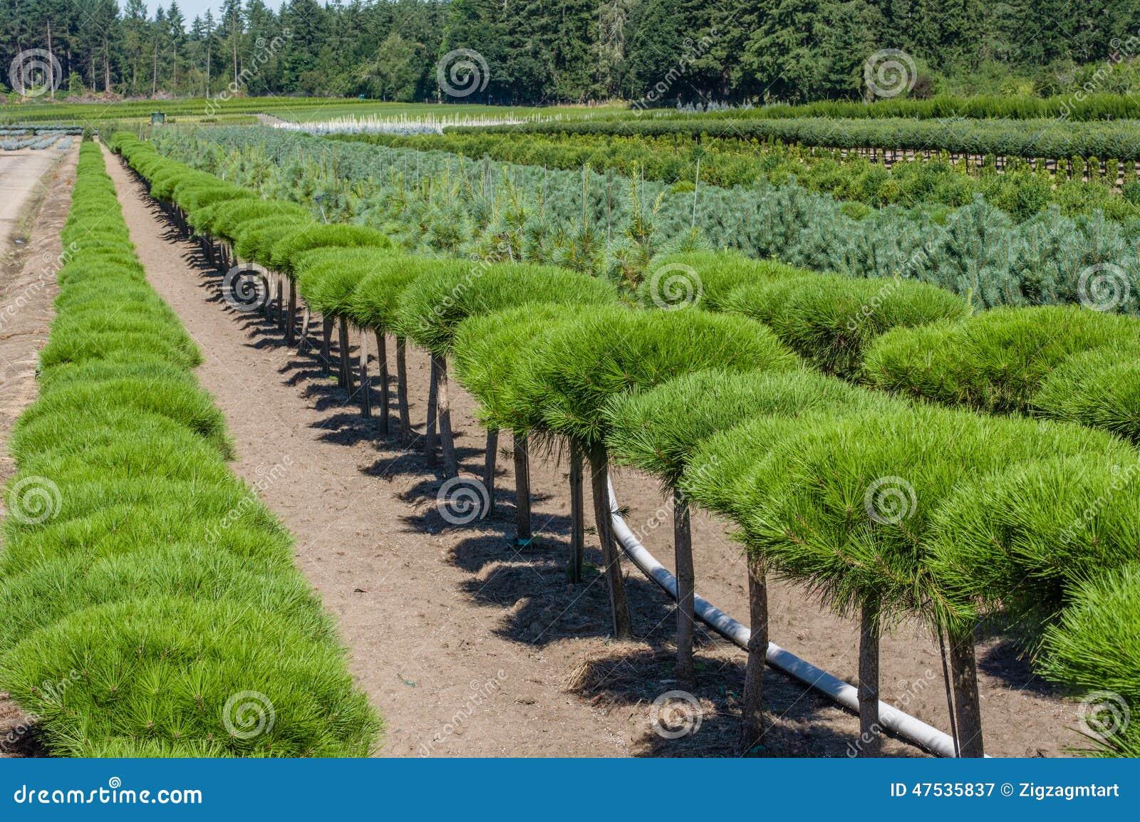 Filas de los arbustos ornamentales del pino imagen de for Arbustos ornamentales