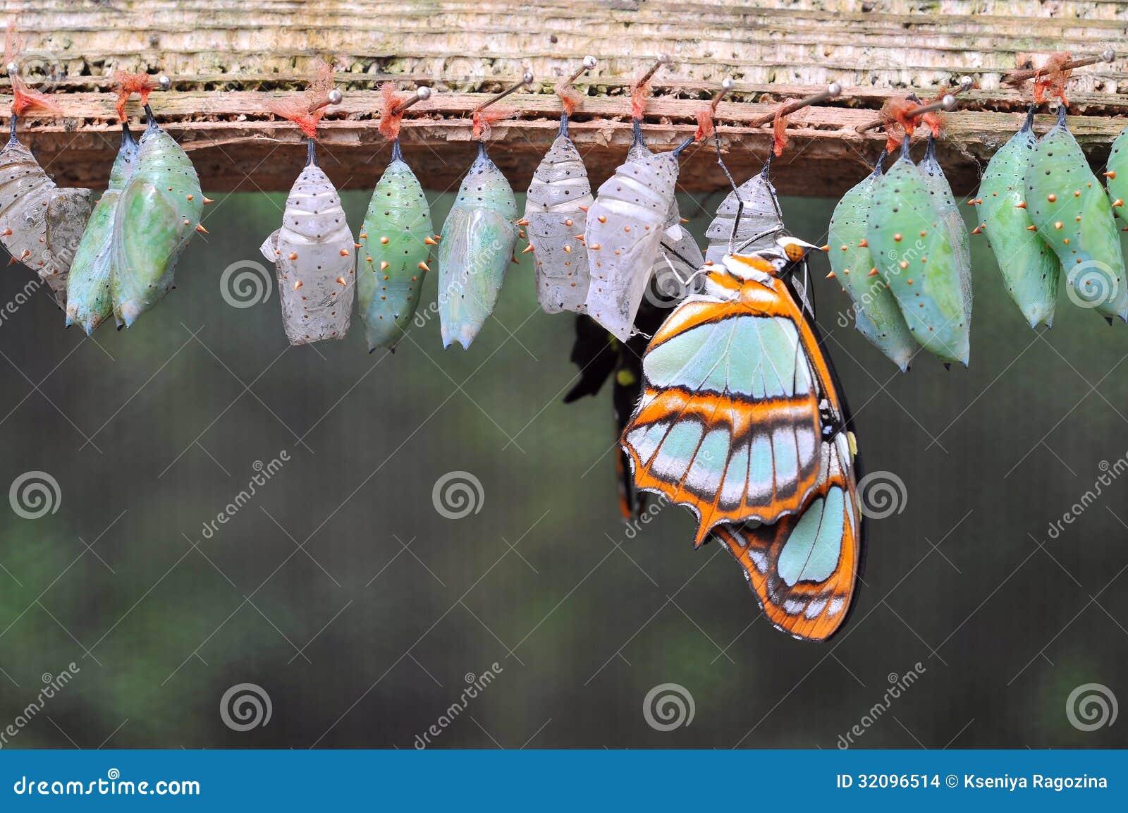 Filas De Los Capullos De La Mariposa Foto de archivo - Imagen de ...