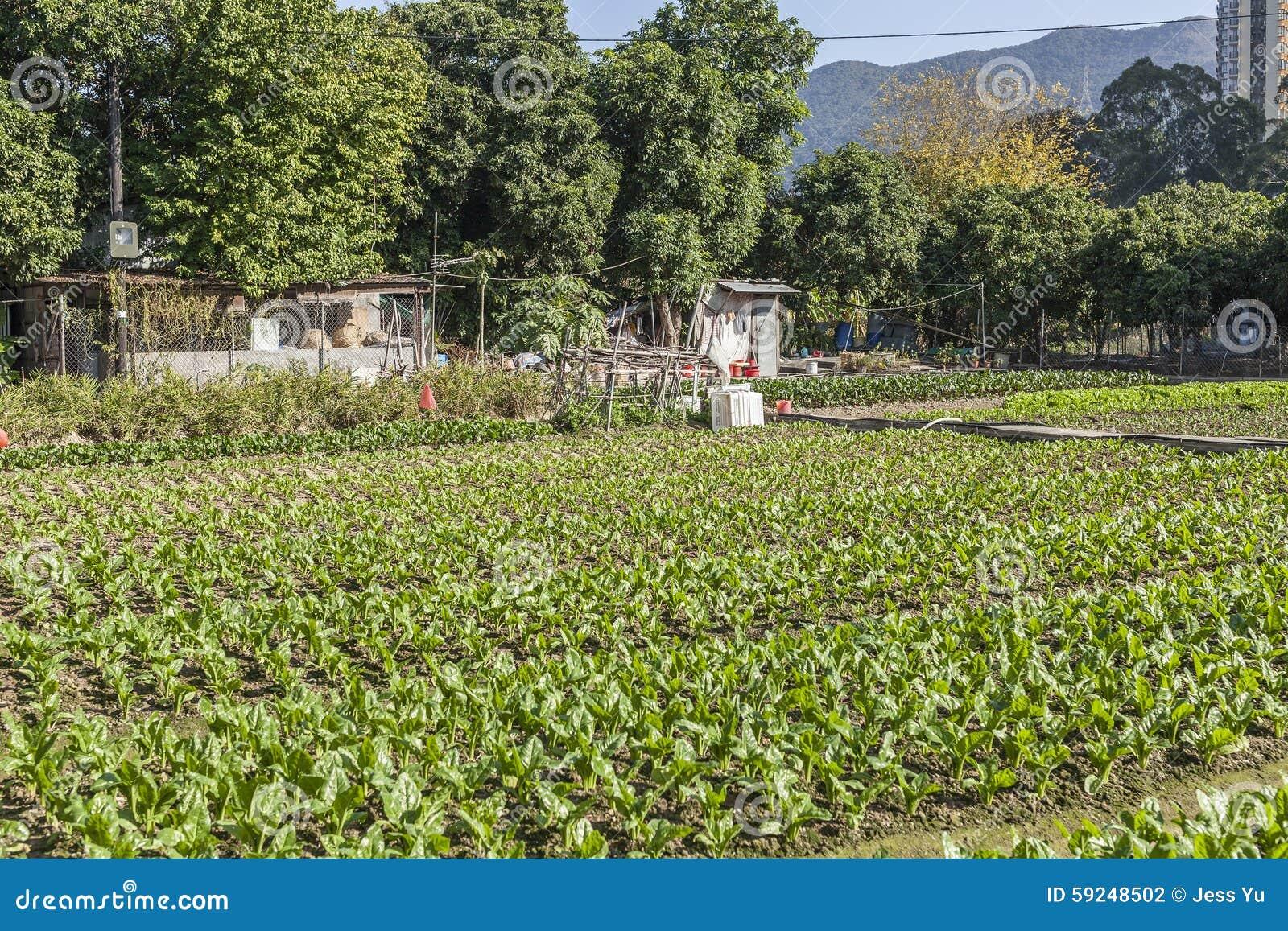 Filas de verduras en tierras de labrantío