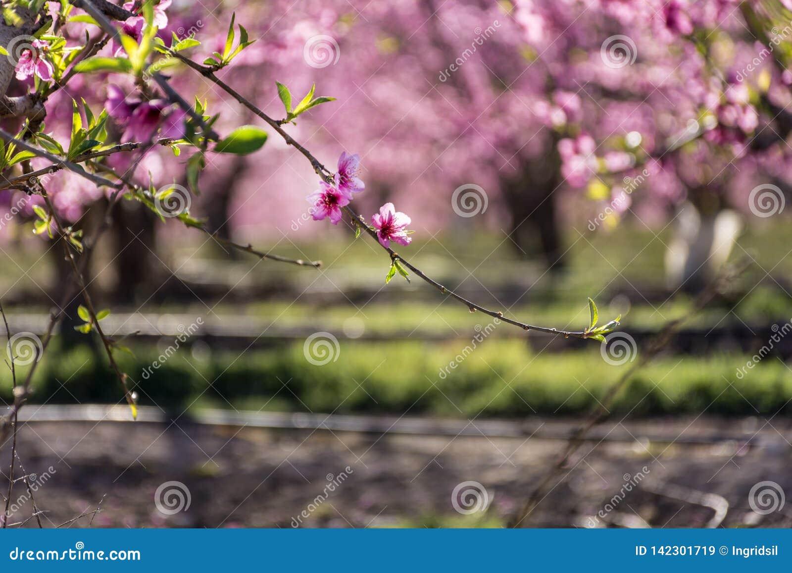 Filas del árbol de melocotón en la floración, con las flores rosadas en la salida del sol Aitona alcarras, Torres de Segre Agricu