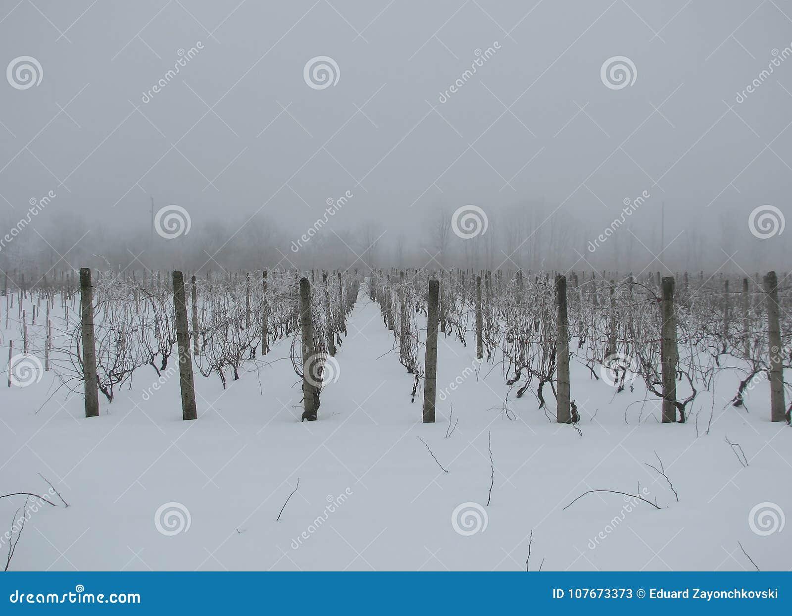 Filas del invierno de la vid