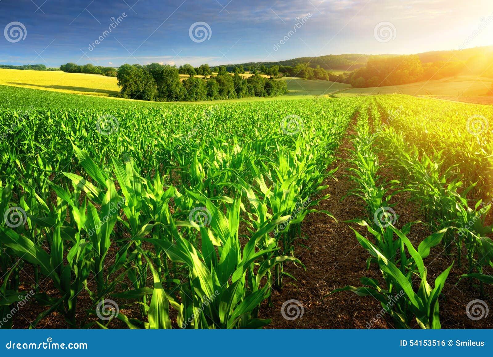Filas iluminadas por el sol de las plantas de maíz
