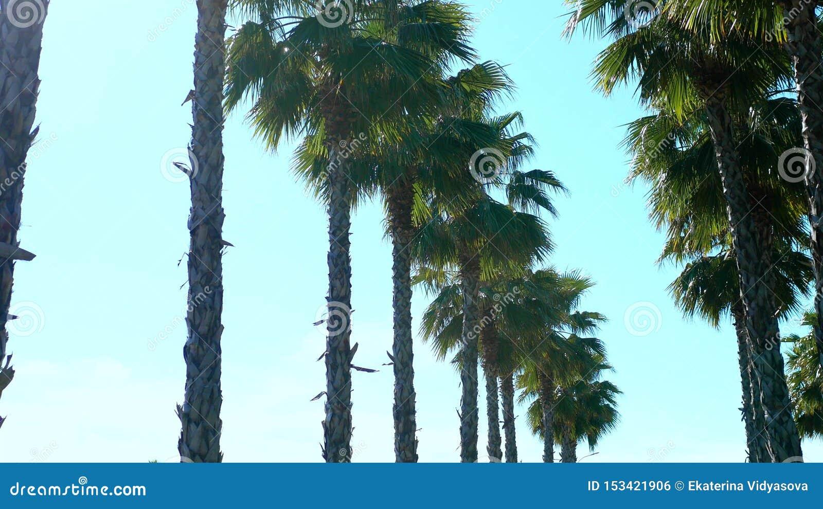 Fileira de palmeiras longas contra um céu azul, foco macio, fundo borrado