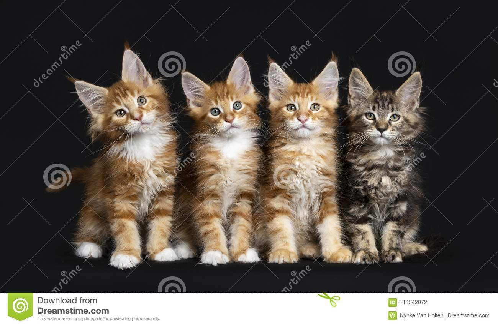 Fileira de quatro gatos de Maine Coon