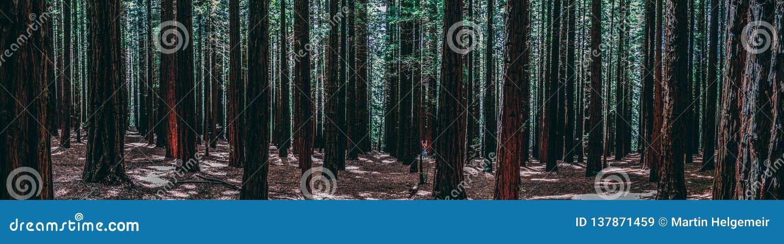 Fileiras das árvores na sequoia vermelha Forest Warburton no vale de Yarra Melbourne, Austrália