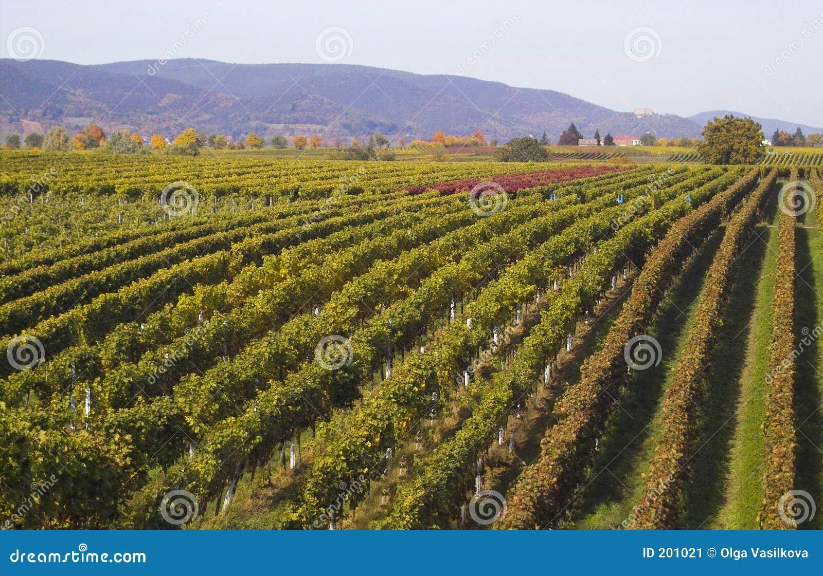 Fileiras das uvas