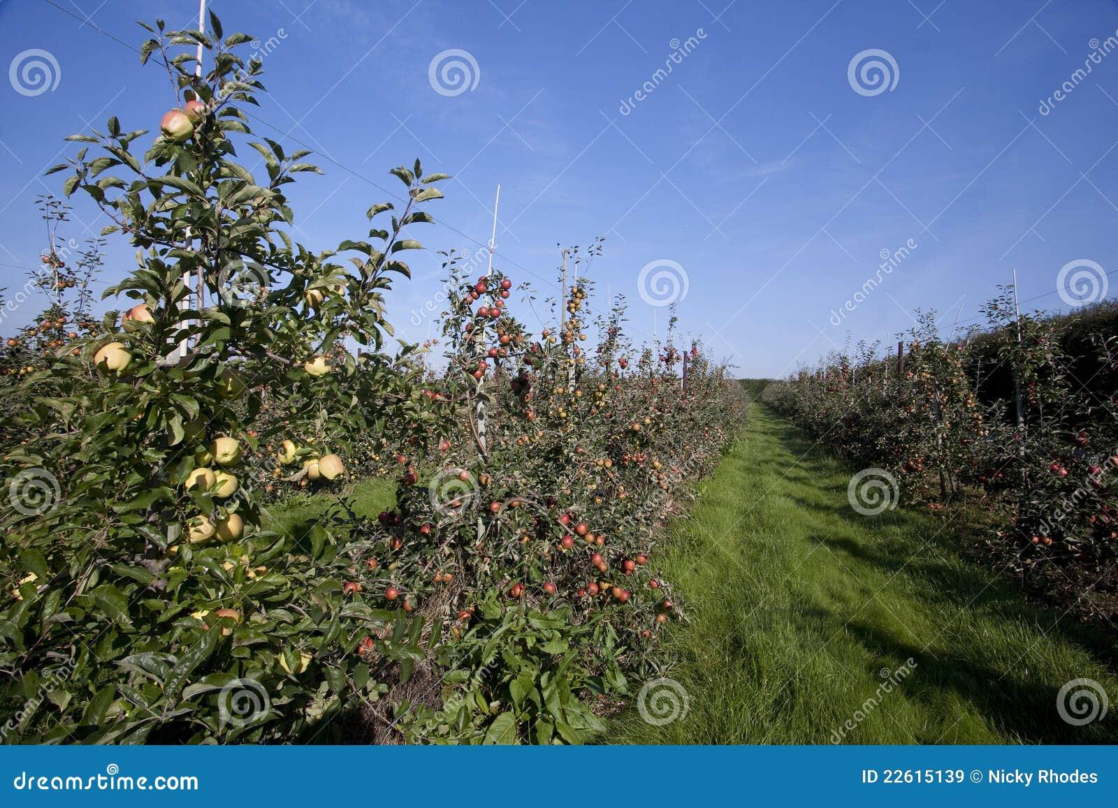 Fileiras de árvores de maçã em um pomar