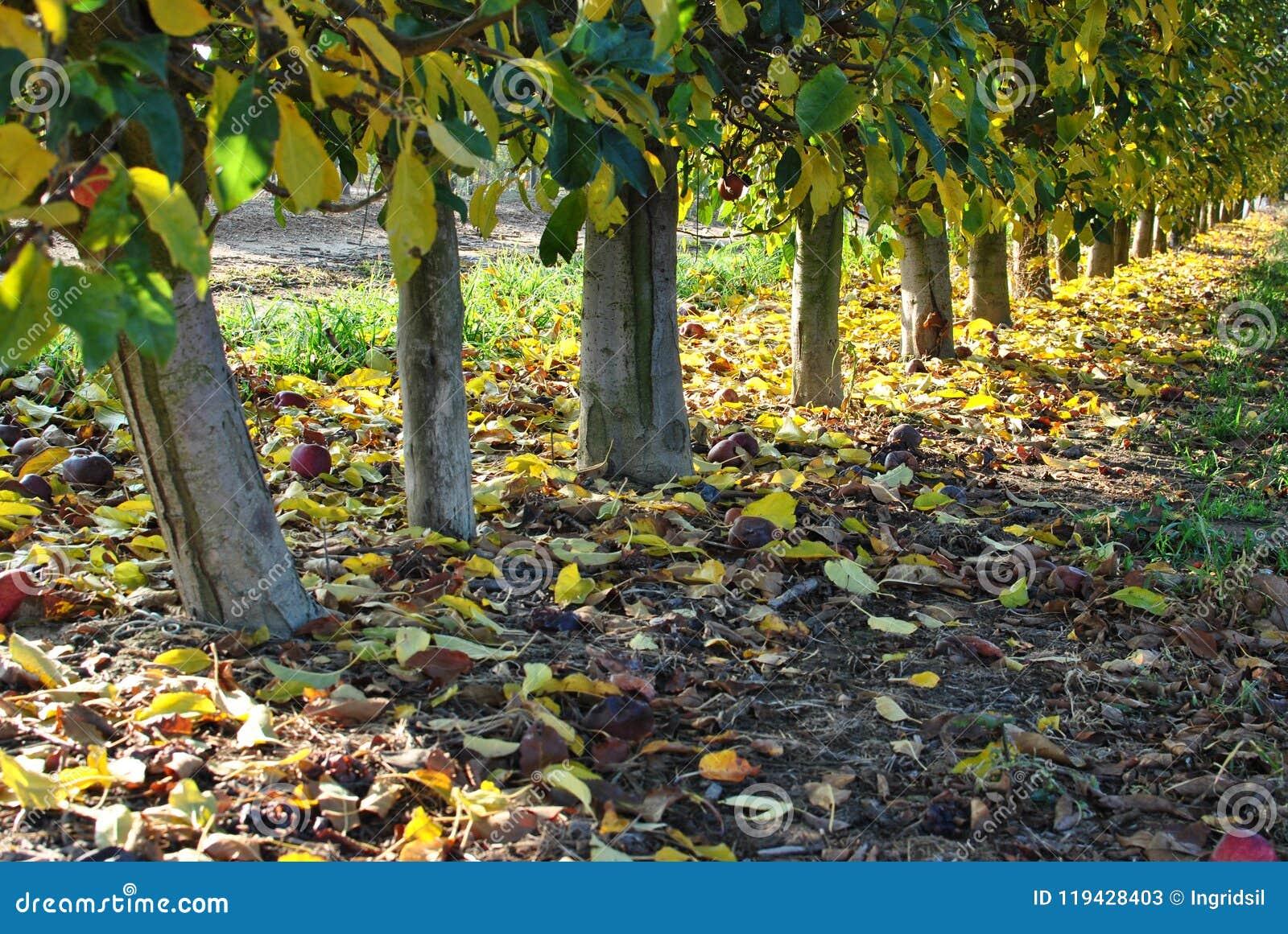 Fileiras de árvores de pera no nascer do sol outono Folhas caídas do amarelo