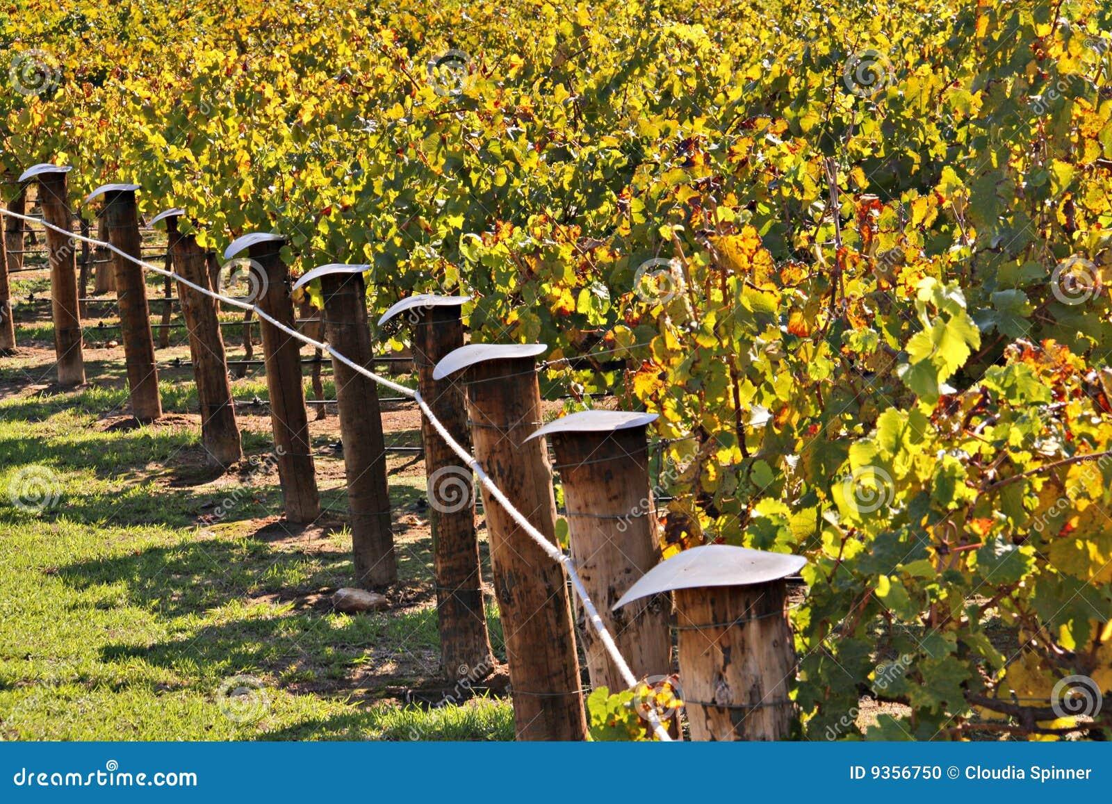 Fileiras de vinhas da adega em cores do outono