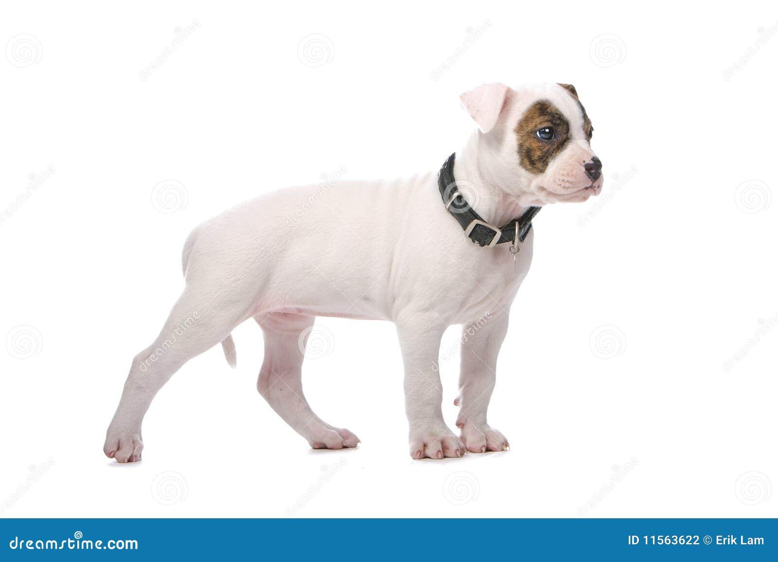 Filhote De Cachorro Americano Do Buldogue Foto De Stock Imagem De