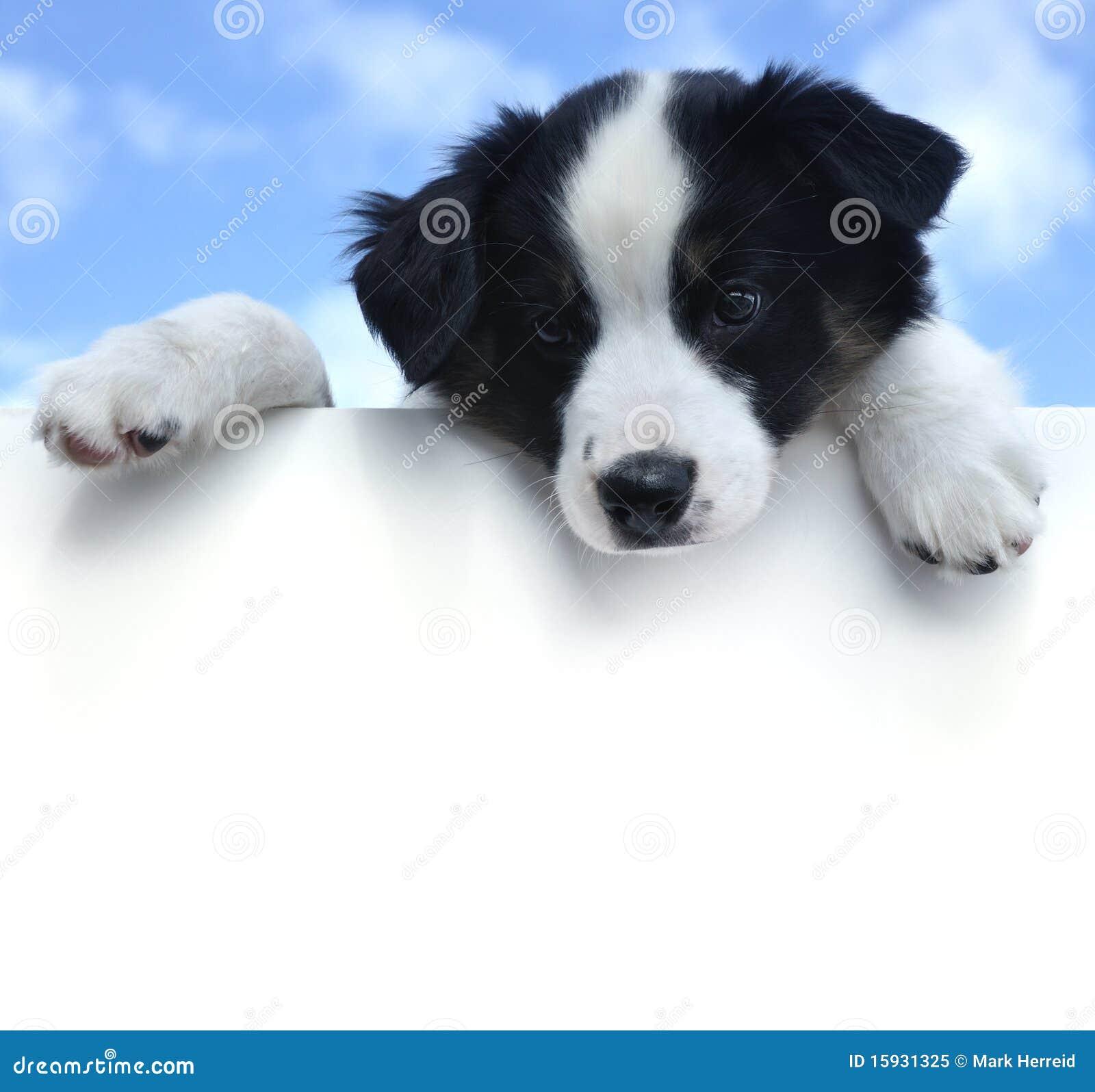 Filhote de cachorro australiano do pastor acima de um sinal em branco