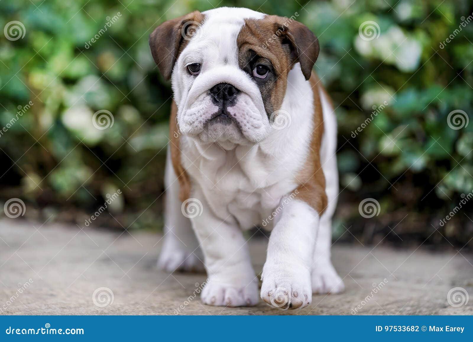 Filhote de cachorro britânico do buldogue