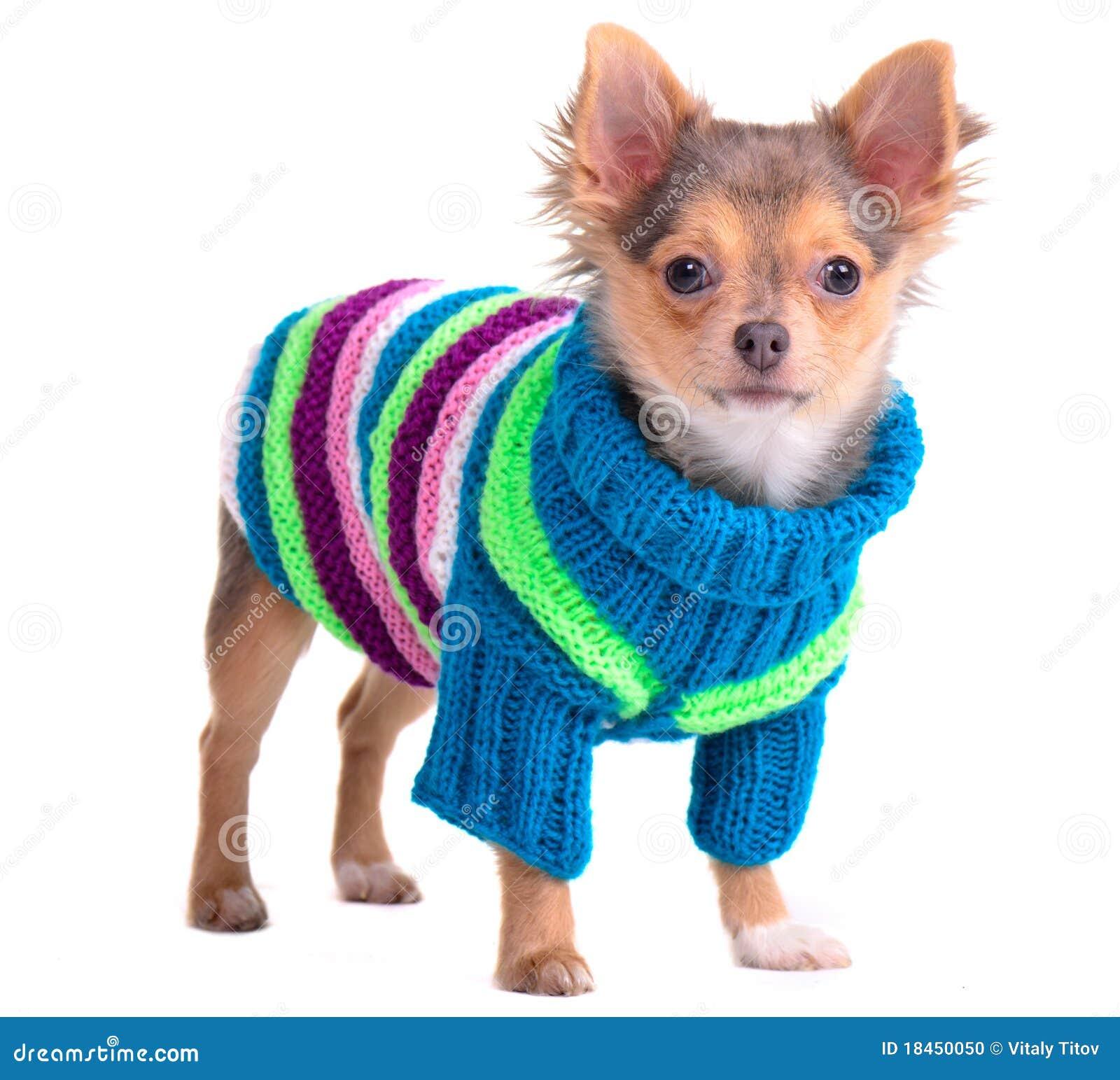 filhote de cachorro da chihuahua vestido com camisola colorida foto de stock imagem 18450050. Black Bedroom Furniture Sets. Home Design Ideas