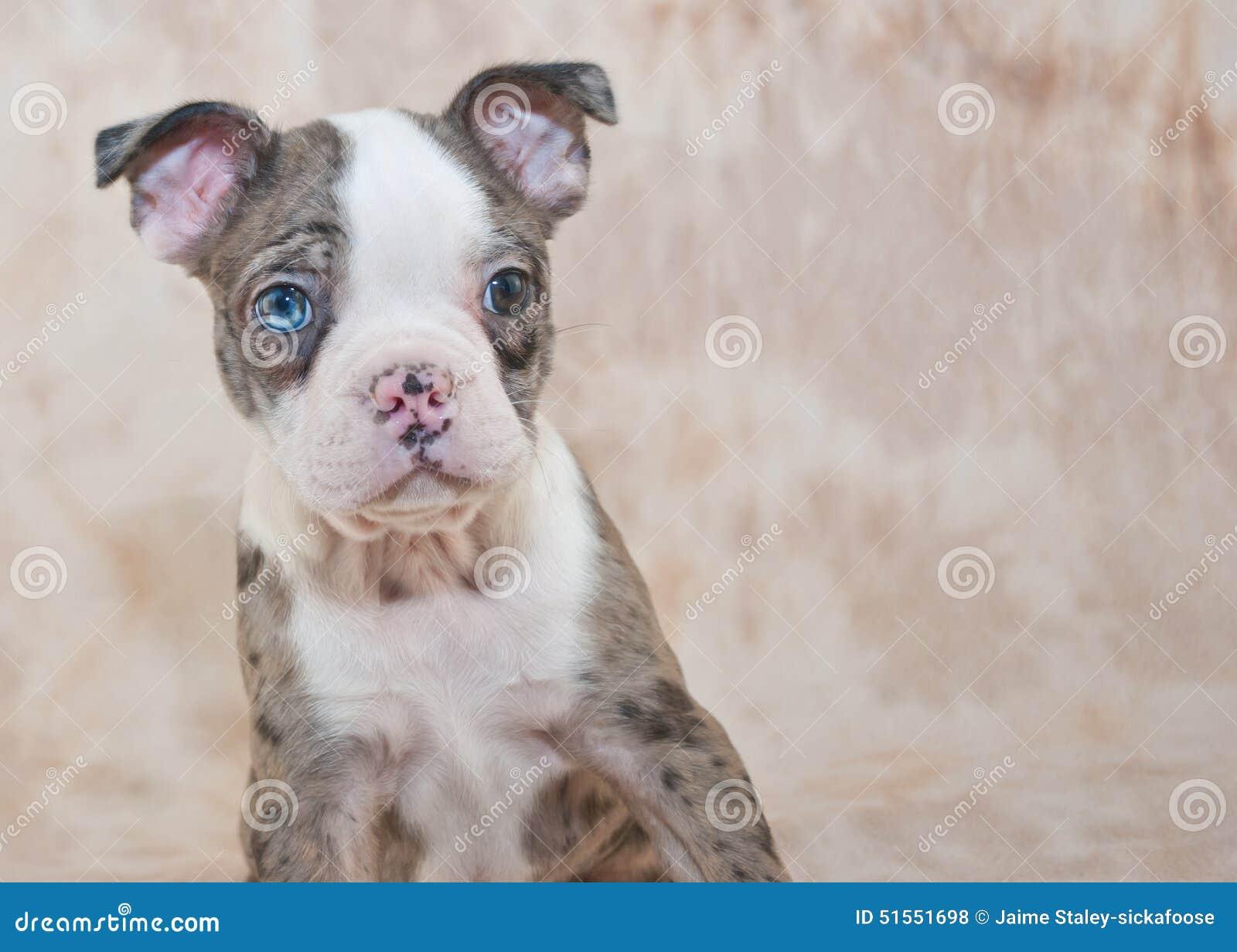 Filhote de cachorro de Boston Terrier