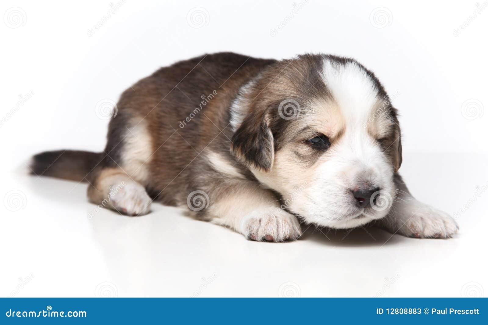 Filhote de cachorro de descanso pequeno
