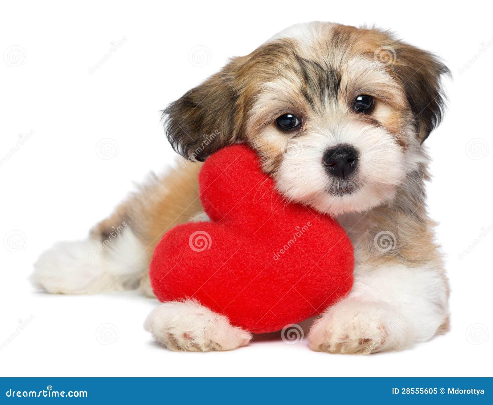 Filhote de cachorro de Havanese do Valentim do amante