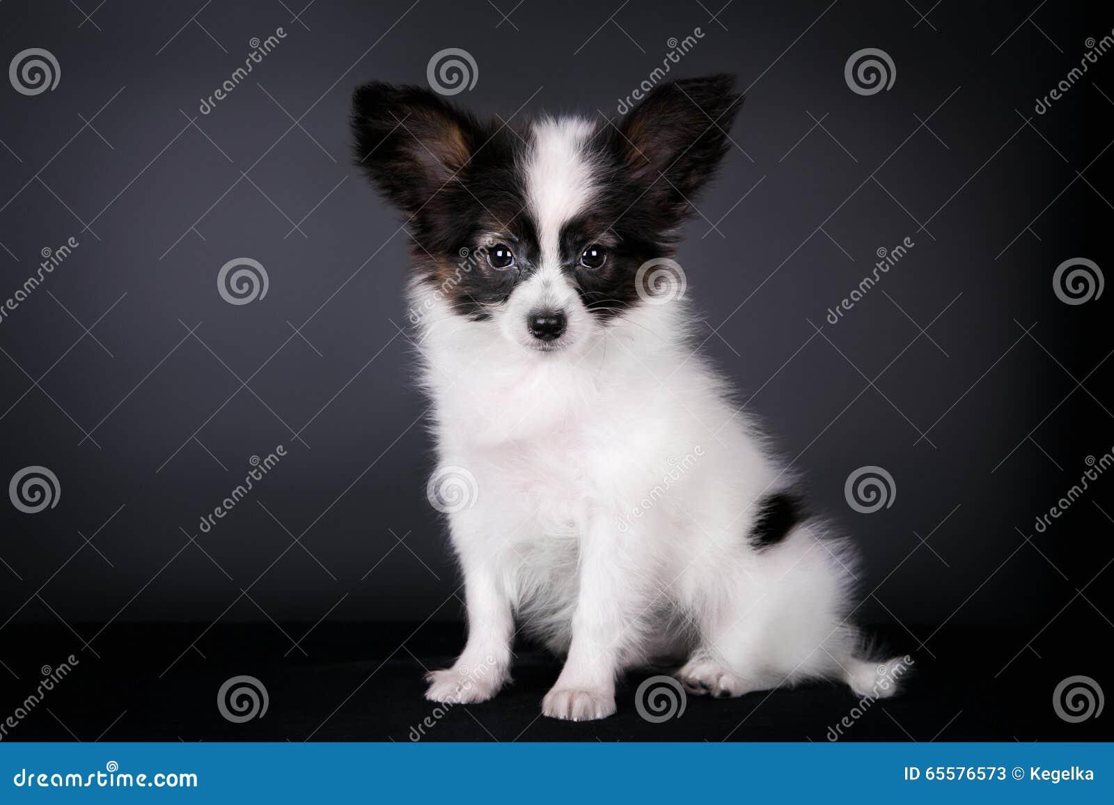 Filhote de cachorro de Papillon