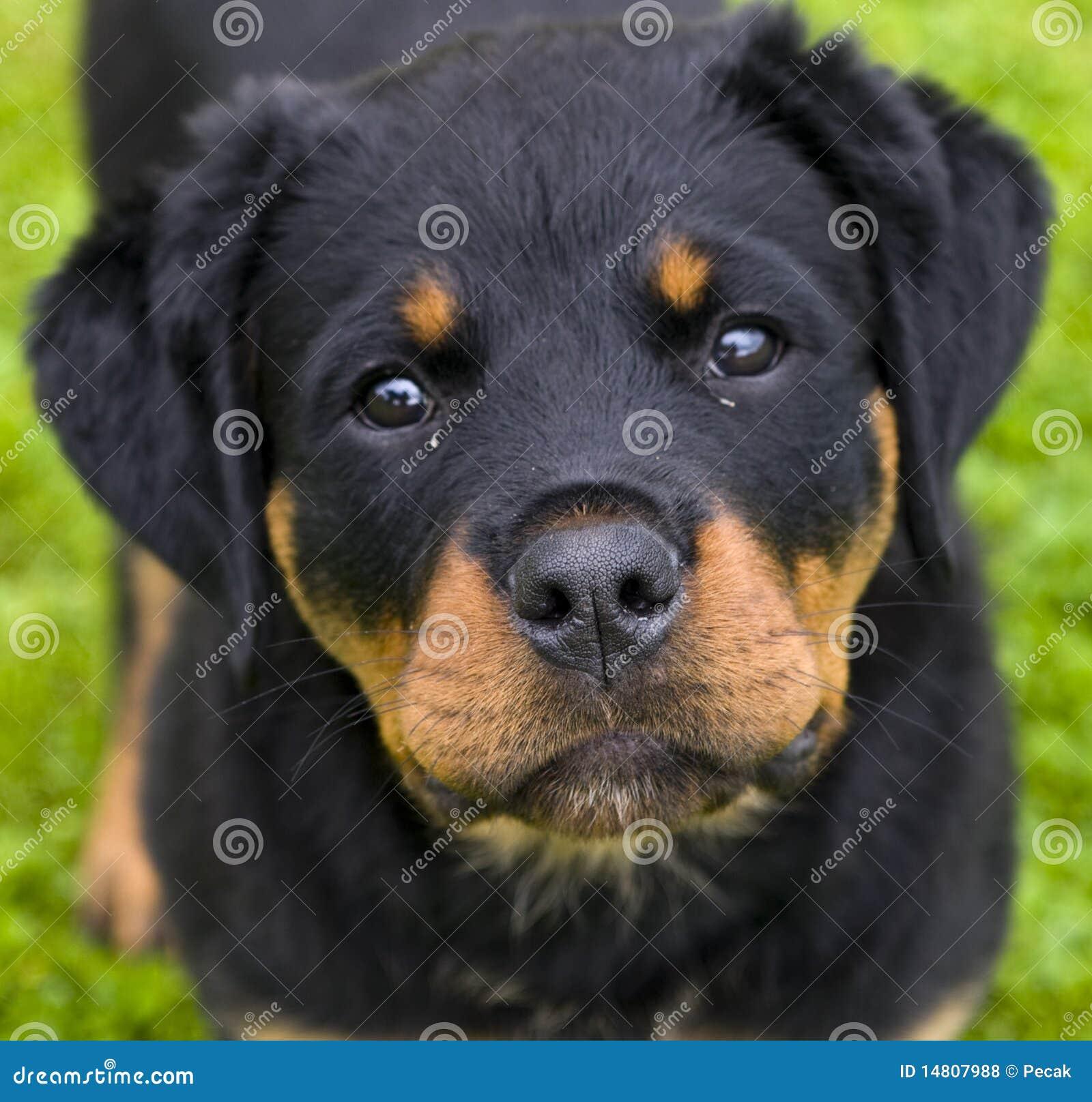 Filhote De Cachorro De Rottweiler Fotos de Stock Royalty Free - Imagem