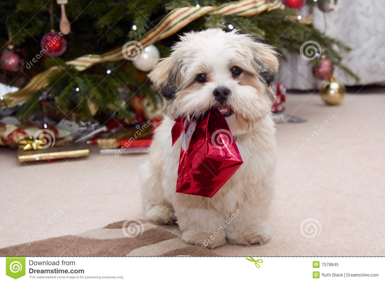 Filhote De Cachorro Do Apso De Lhasa No Natal Foto de Stock Royalty ...