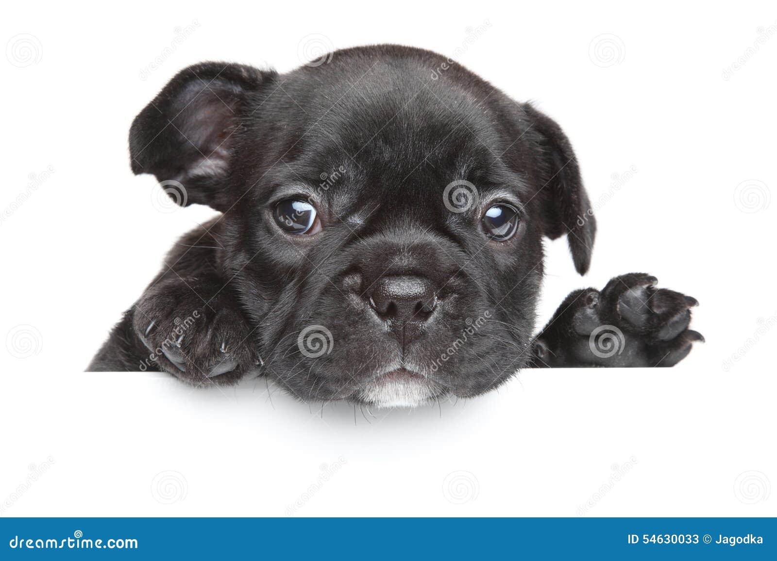 Filhote de cachorro do buldogue francês