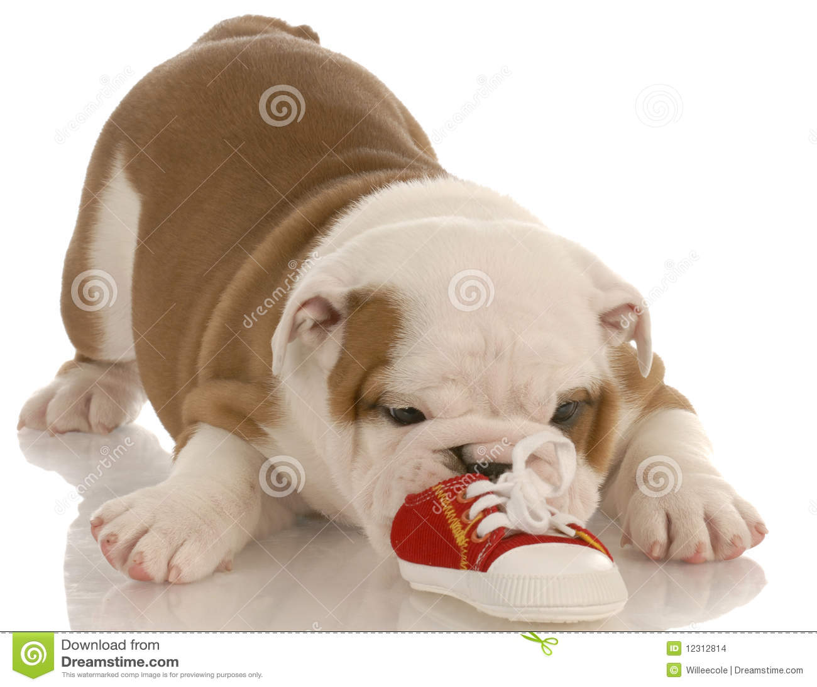 Filhote de cachorro do buldogue que mastiga na sapata