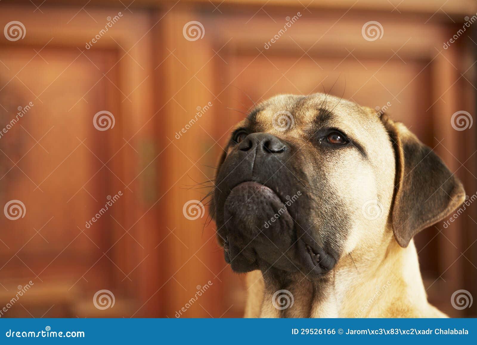 Filhote de cachorro do cão na HOME
