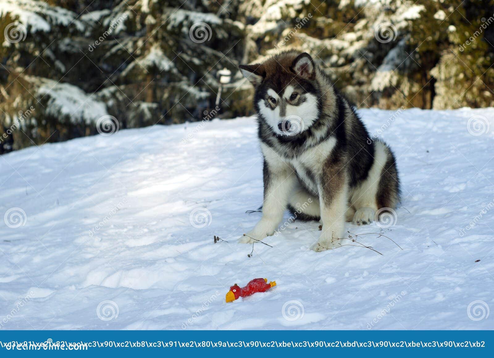 Filhote de cachorro do cão de puxar trenós Siberian