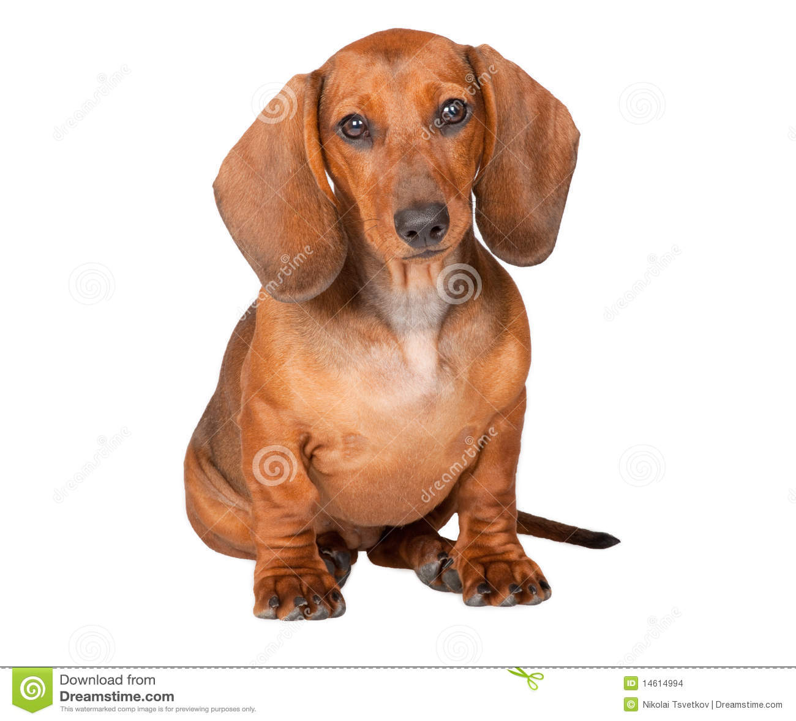Filhote de cachorro do Dachshund