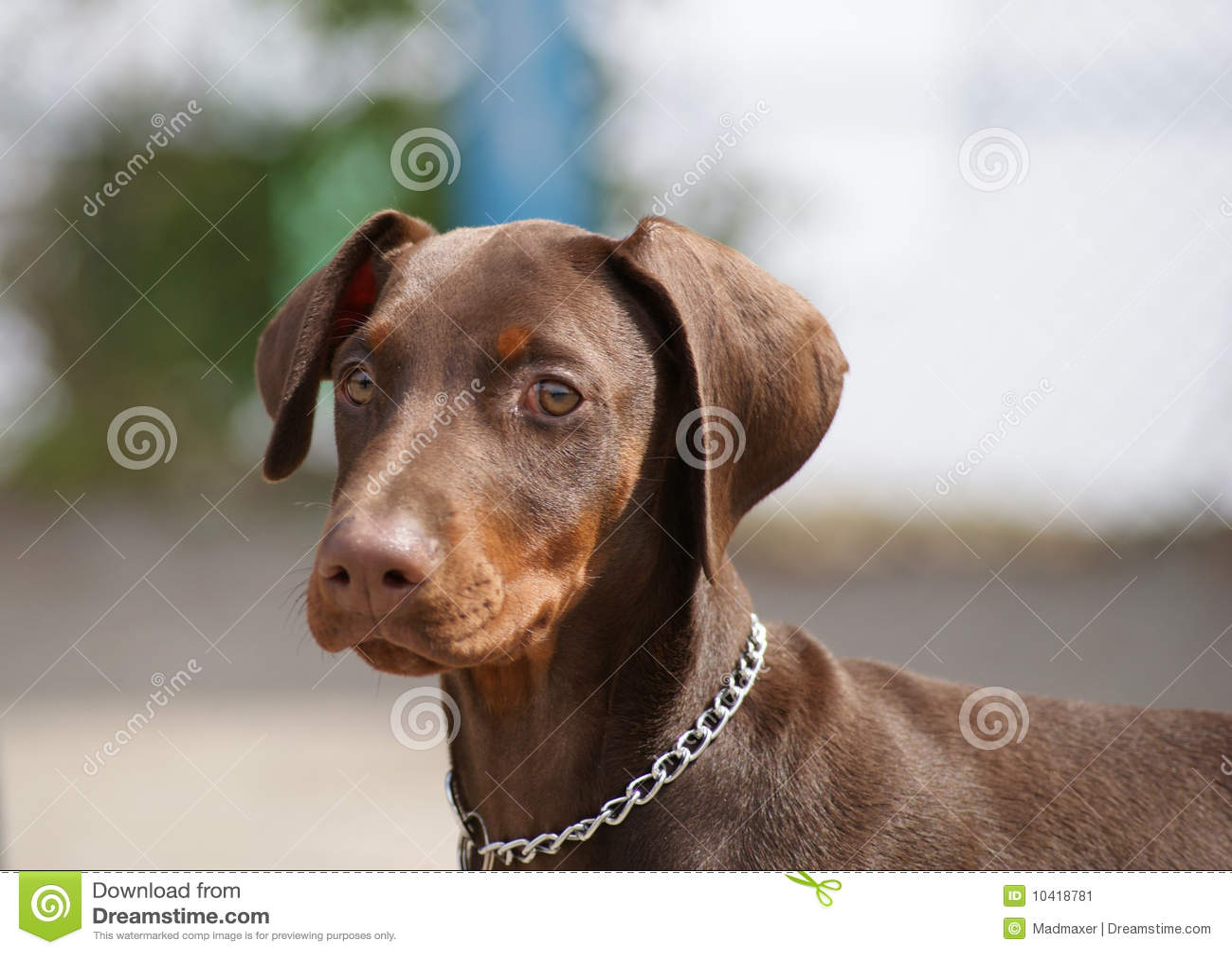 Filhote De Cachorro Do Doberman Imagem De Stock