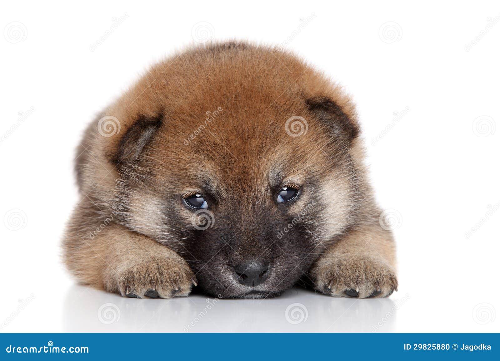 Filhote de cachorro de Akita-inu