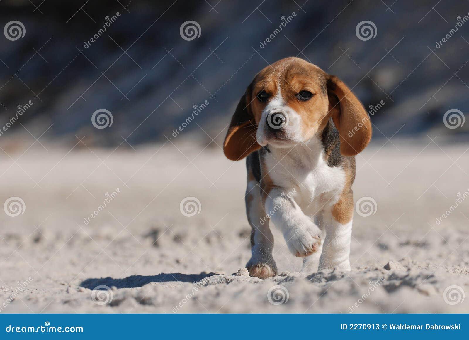 Filhote de cachorro do lebreiro