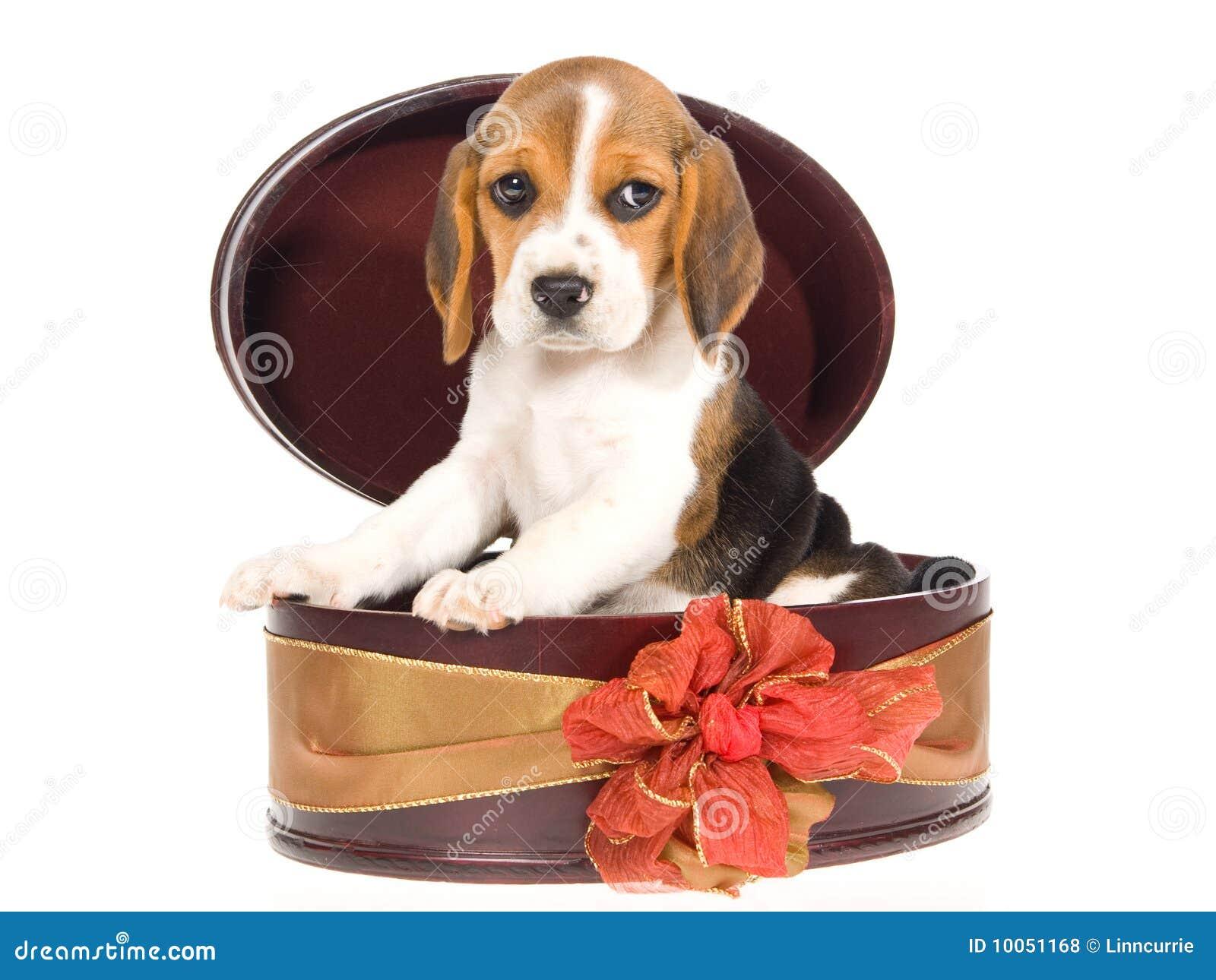 Filhote de cachorro do lebreiro dentro da caixa de presente redonda