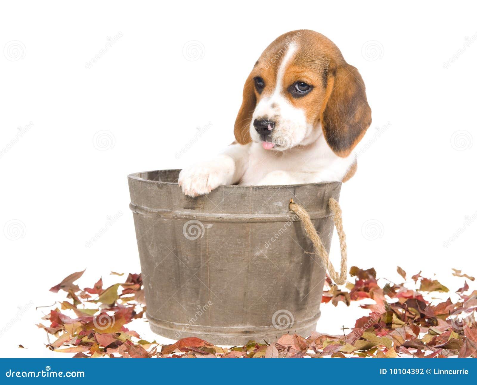 Filhote de cachorro do lebreiro na cuba de madeira
