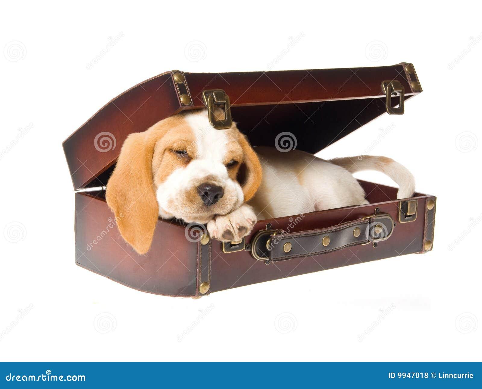 Filhote de cachorro do lebreiro que dorme na mala de viagem marrom