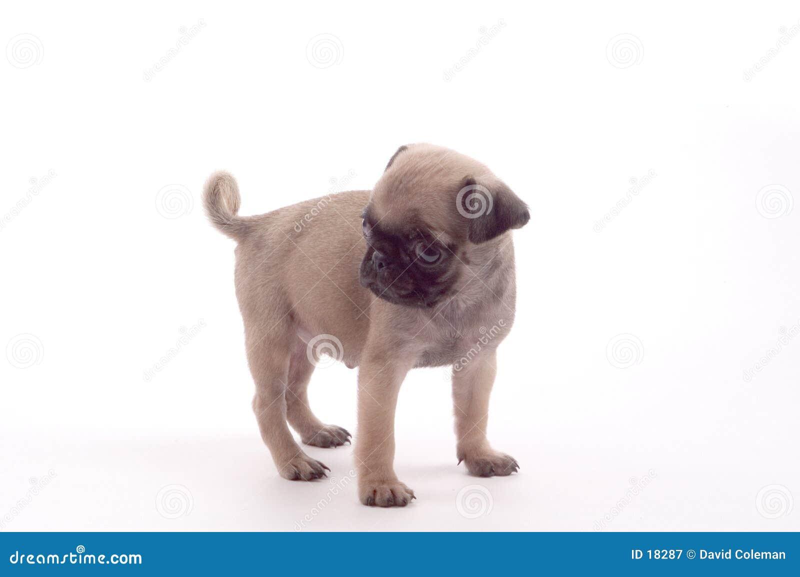 Filhote de cachorro do Pug