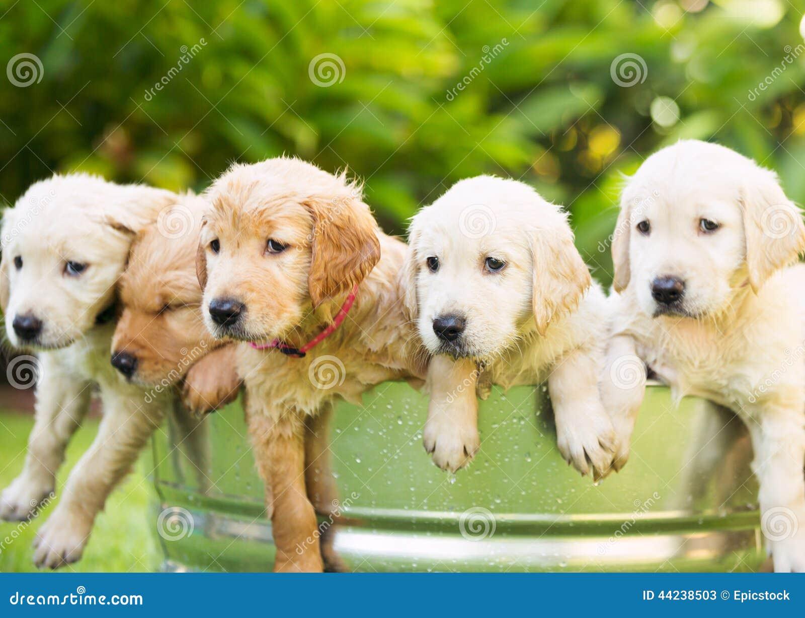 Filhote de cachorro do retriever dourado