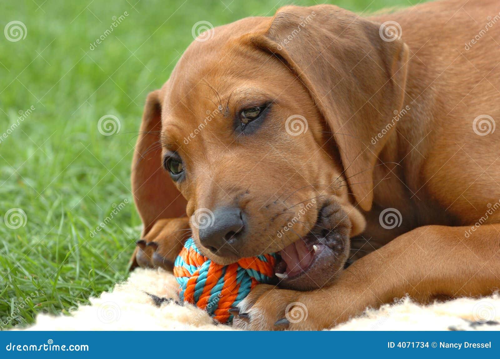 Filhote de cachorro do ridgeback de Rhodesian