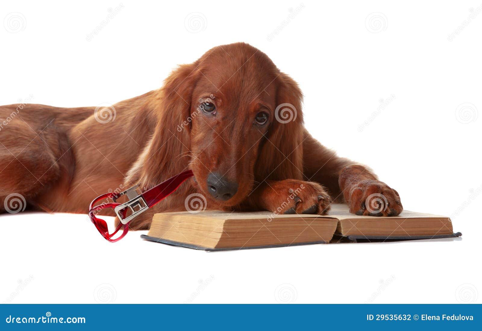 Filhote de cachorro do setter com vidros e livro. Isolado no branco