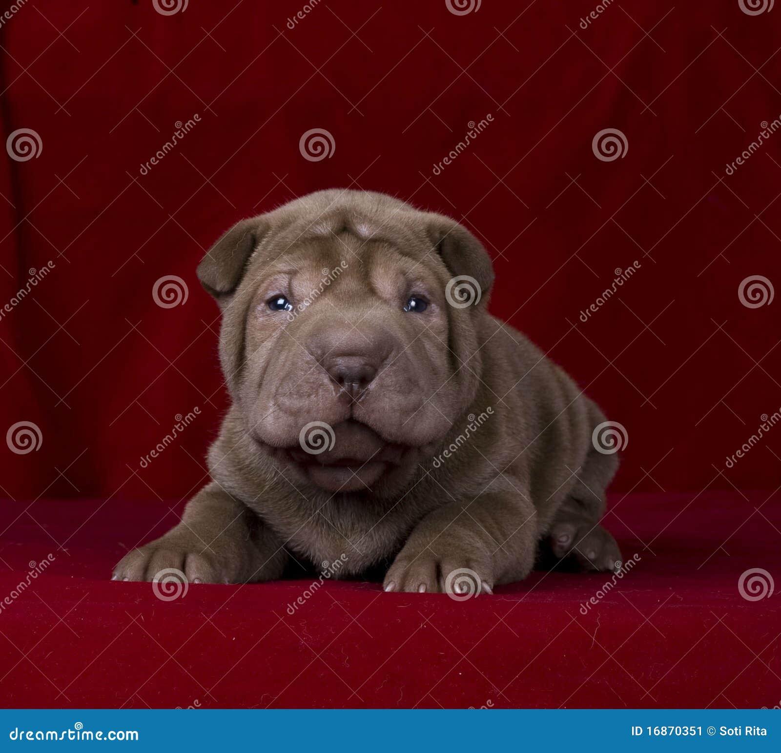 Filhote de cachorro do sharpei do chocolate