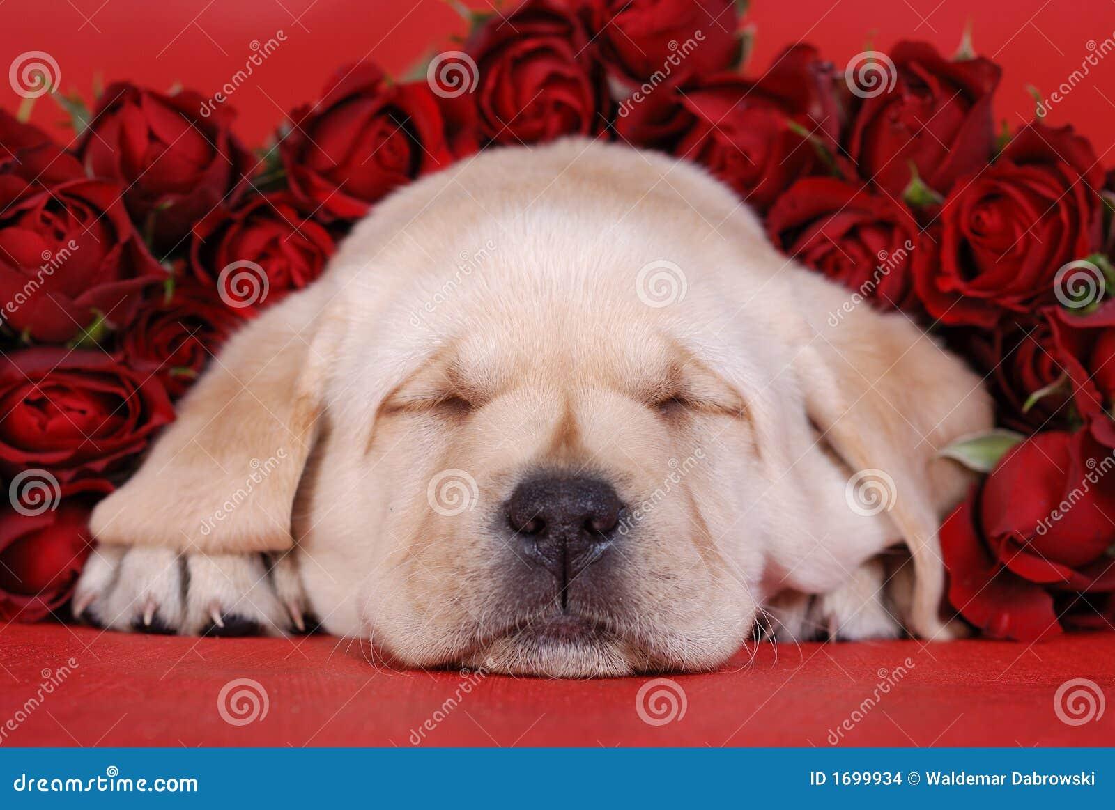 Filhote de cachorro do sono Labrador com r