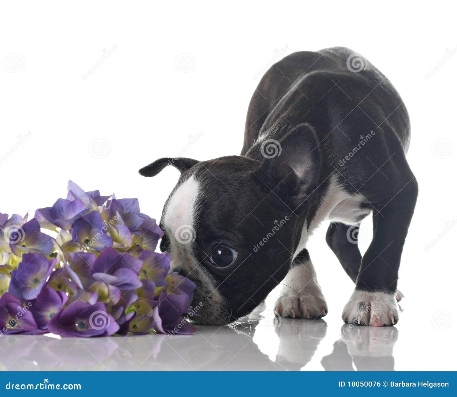 Filhote de cachorro do terrier de Boston