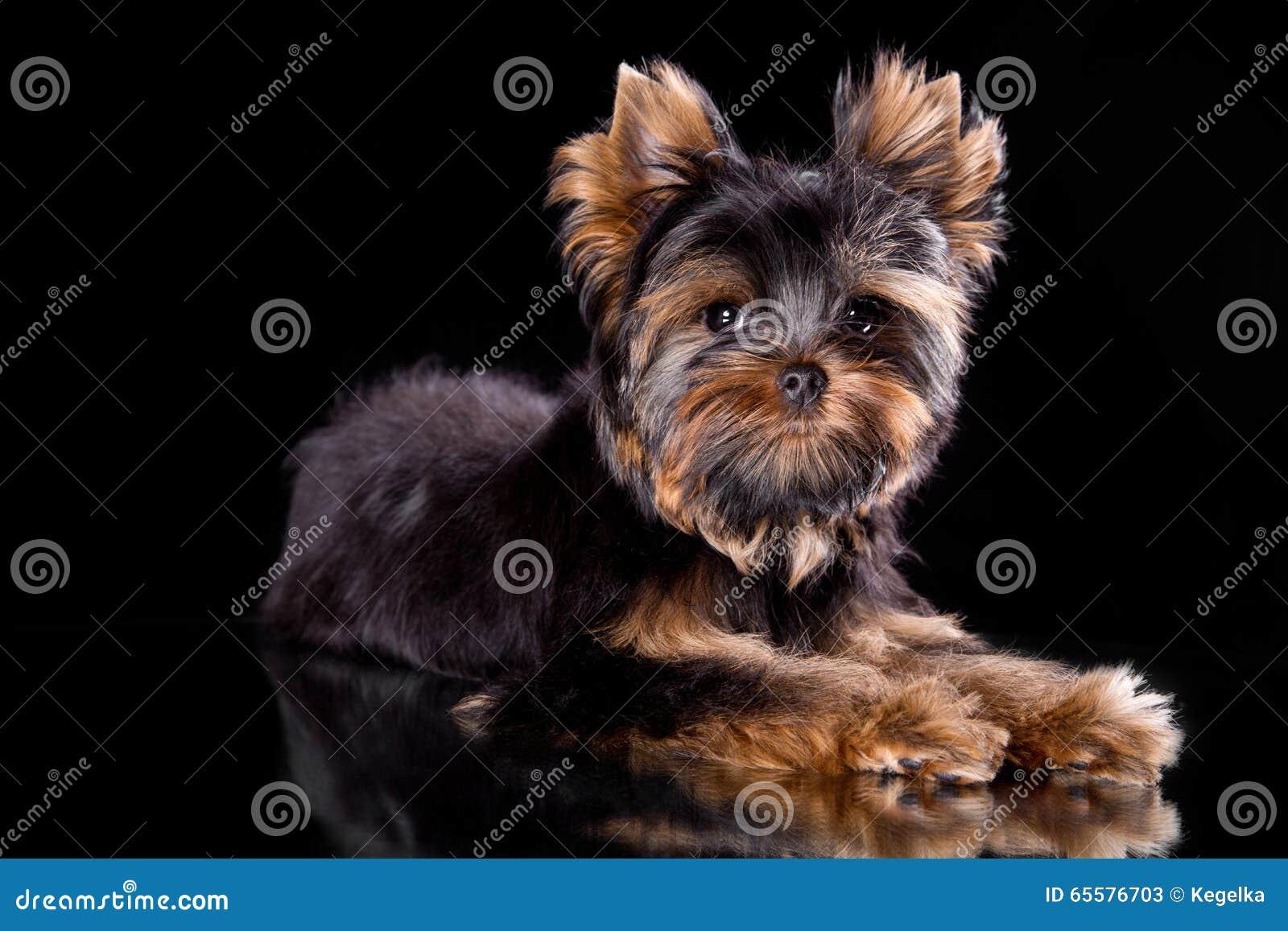Filhote de cachorro do terrier de Yorkshire