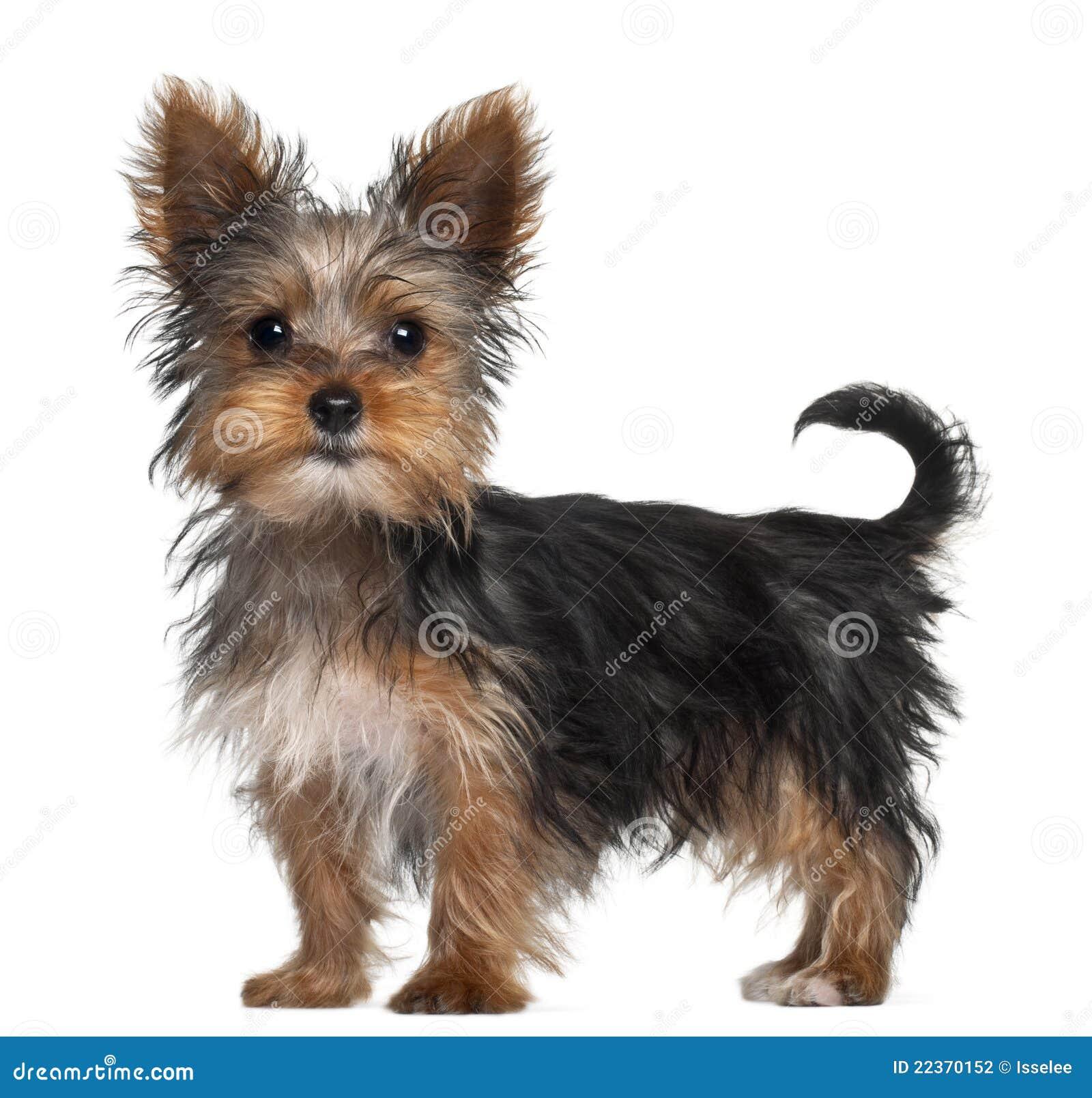 Filhote de cachorro do terrier de Yorkshire, 8 semanas velho, posição