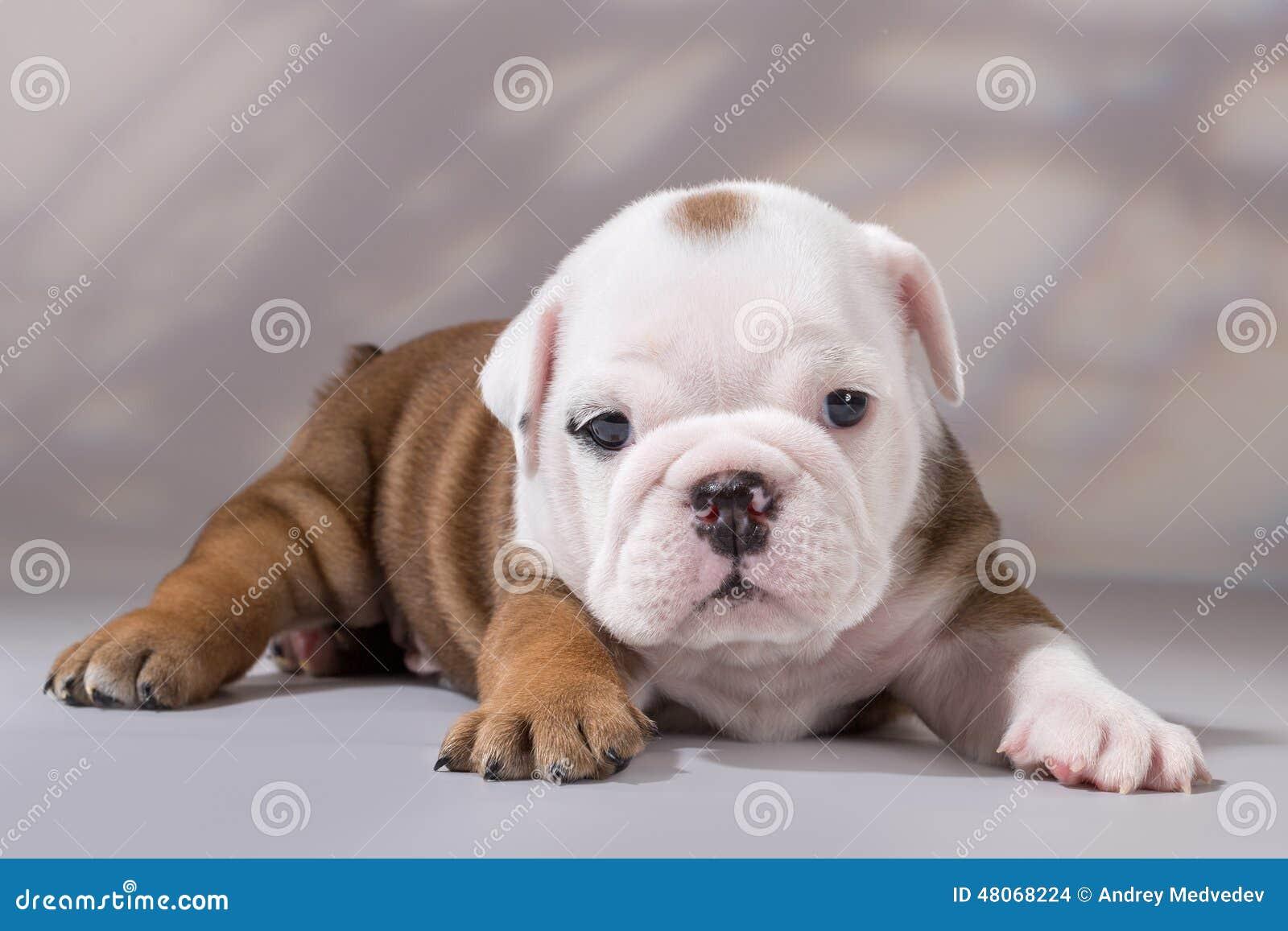 Filhote de cachorro inglês do buldogue