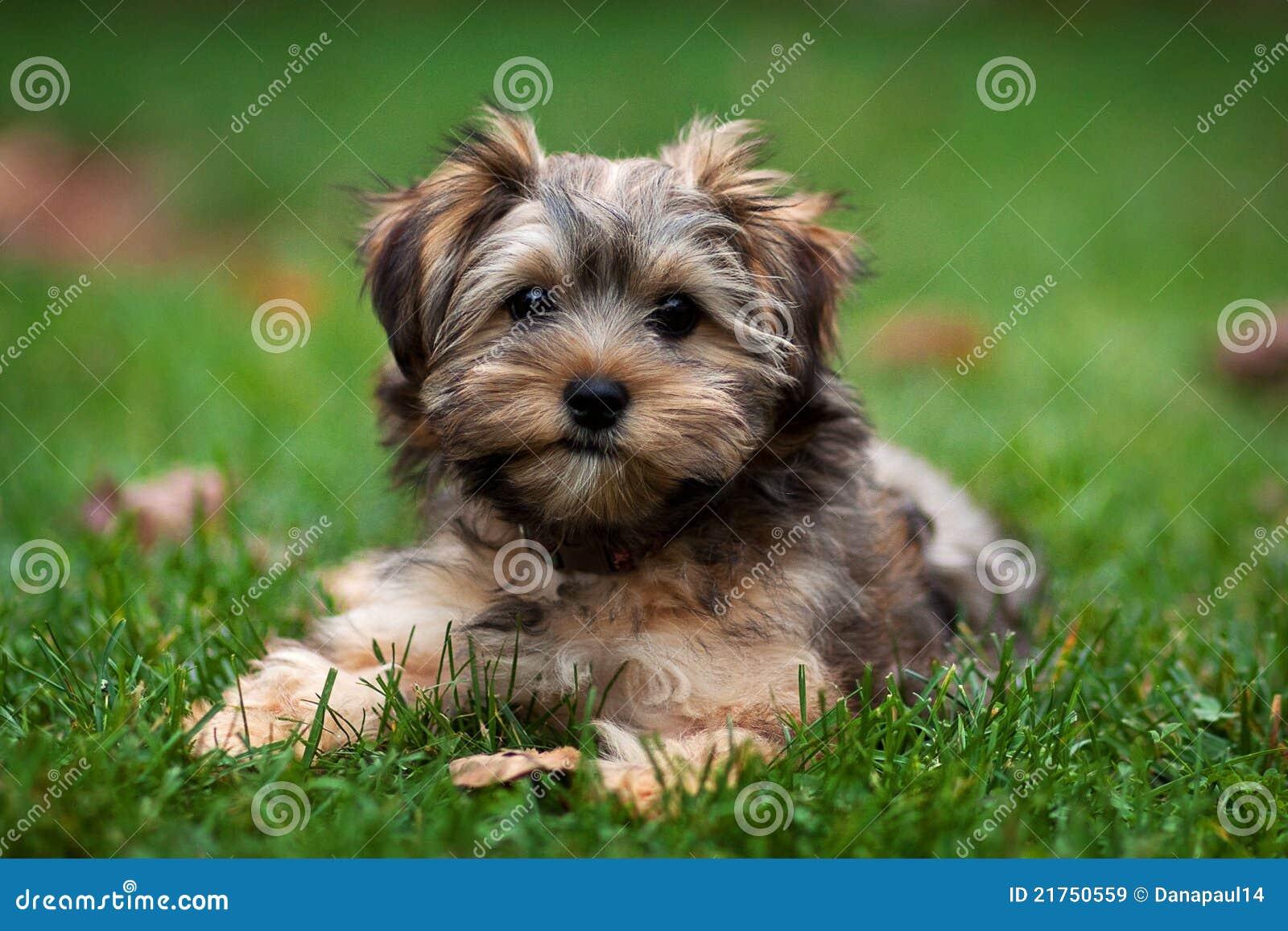Um Yorkie e um Shih adoráveis Tzu misturaram o filhote de cachorro
