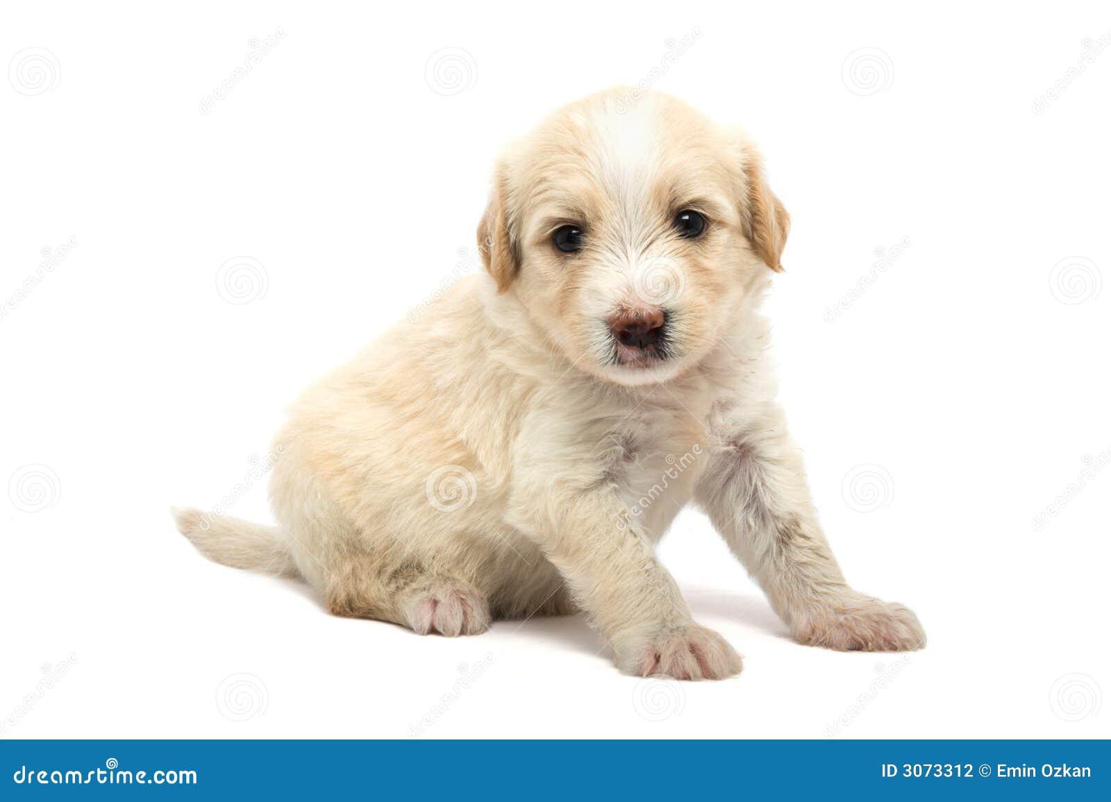 Filhote de cachorro no branco