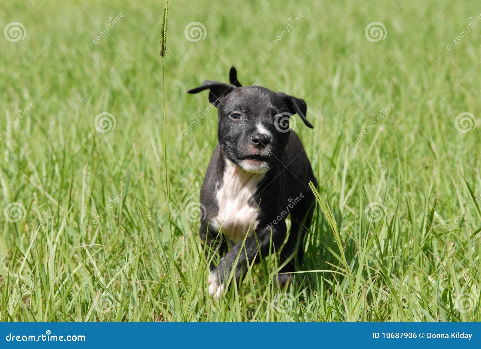 Filhote De Cachorro Preto E Branco Imagem de Stock Royalty Free  #496418 1300x960 Banheiro De Cachorro Funciona