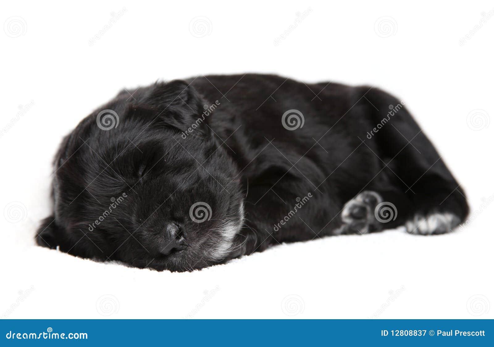 Filhote de cachorro preto pequeno